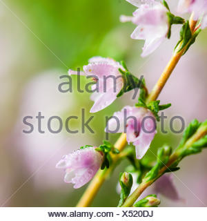 Drops of dew on the flowers of heather - Stock Photo