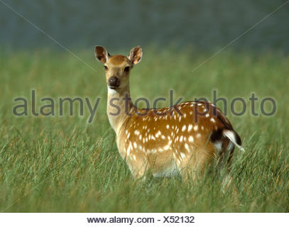 Sika Deer - Cervus nippon - Stock Photo