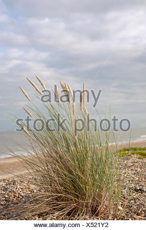 Grass, Marram grass, Ammophila arenaria, Flowering clump growing in shingle on a suffolk beach in UK, Sea and sky behind. - Stock Photo