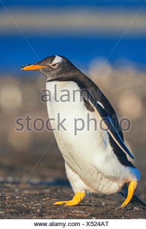 Gentoo penguin (Pygoscelis papua papua) walking, Falkland Islands, South Atlantic