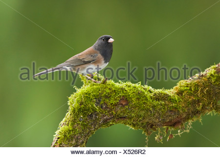 A Dark-eyed junco (Junco hyemalis) perches on a mossy branch in Victoria, Vancouver Island, British Columbia, Canada - Stock Photo