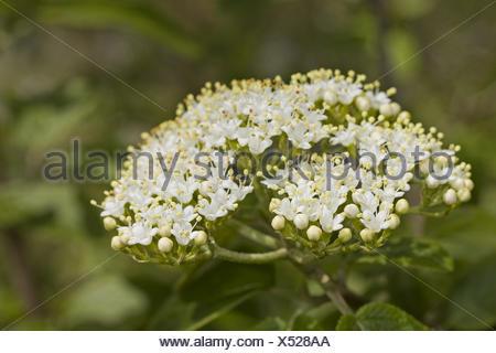 Wayfaring tree Viburnum lantana - Stock Photo
