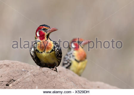 A red-and-yellow barbet, Trachyphonus erythrocephalus, on a termite mound. - Stock Photo