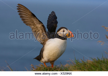 Atlantic puffin, Common puffin (Fratercula arctica), flapping wings, Iceland, Latrabjarg
