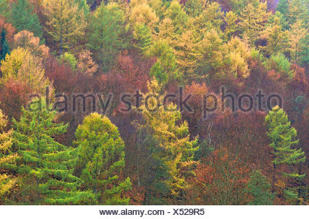 Autumnal mixed forest with larches (Larix), spruce trees (Picea abies) and beech trees (Fagus sylvatica), North Rhine-Westphalia - Stock Photo