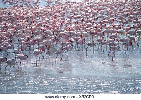 Lesser flamingos (Phoeniconaias minor) standing in water, Walvis Bay, Namibia - Stock Photo
