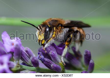 European Wool Carder Bee, Anthidium manicatum, Munich, Bavaria, Germany - Stock Photo