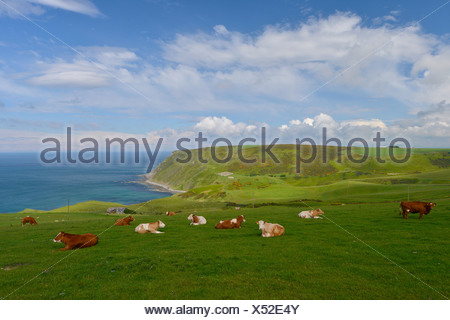 Cows, herd on a lush green pasture, Gardenstown, Banffshire, Scotland, United Kingdom, Europe - Stock Photo