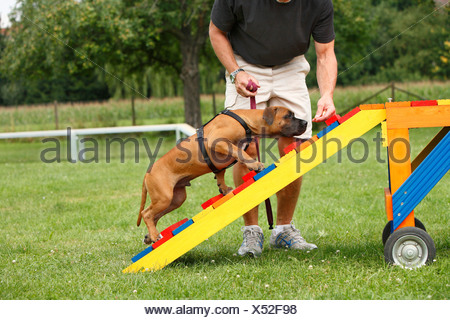 Staffordshire Bull Terrier (Canis lupus f. familiaris), puppie is attracted to walk over a barrier in a dog school, Germany - Stock Photo