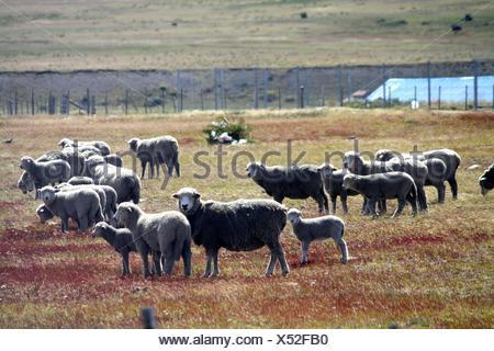 Flock Of Sheep On A Pastureland - Stock Photo