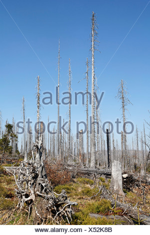 Forest with dead spruces, Bayerischer Wald National park, Lower Bavaria, Germany - Stock Photo