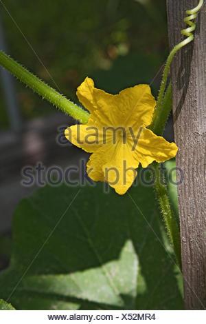 Yellow cucumber flower in a vegetable garden - Stock Photo