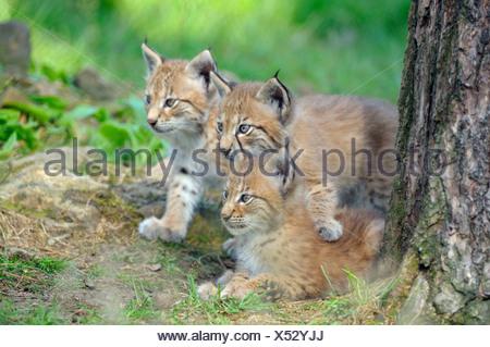 European Lynx, cubs / (Lynx lynx, Felis lynx) - Stock Photo