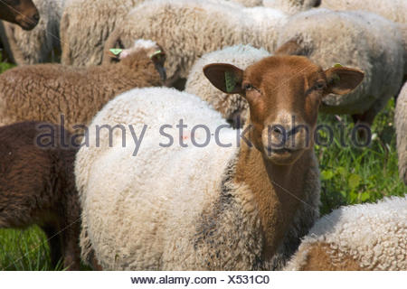domestic sheep (Ovis ammon f. aries), portrait of a sheep in the midst of the herd, Belgium, Namur - Stock Photo