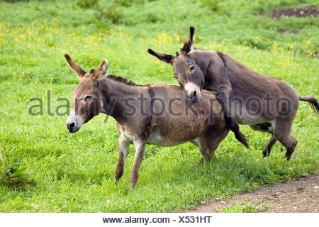 Donkeys, pair mating, Equus asinus, Germany - Stock Photo