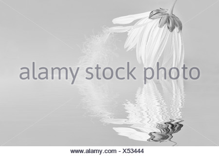 Ox-eye daisy Leucanthemum vulgare black & white with a feather on a petal flower hanging down touching the surface of the water - Stock Photo