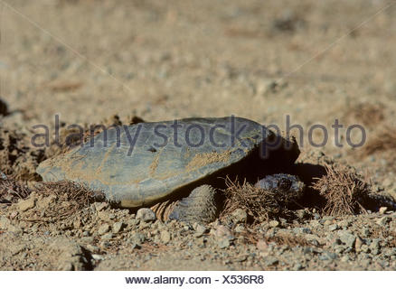 Snapping (Chelydra serpentina) Turtle laying eggs in Algonquin Provincial Park, Central Ontario, Canada. - Stock Photo