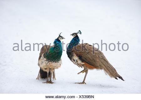 common peafowls - Stock Photo
