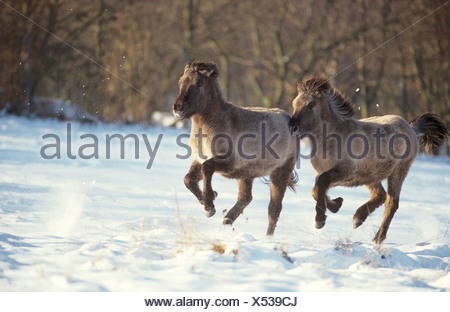 two Dulmen wildhorses - galloping in snow - Stock Photo