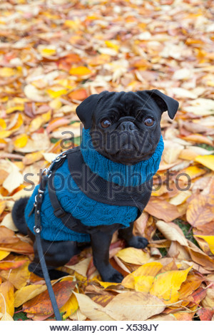 Pug wearing a blue sweater sitting on autumn leaves - Stock Photo
