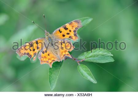 Comma butterfly (Polygonia c-album, Nymphalis c-album), Dessau, Saxony-Anhalt, Germany, Europe - Stock Photo