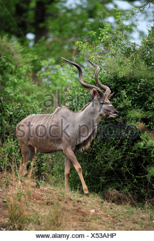 Greater Kudu (Tragelaphus strepsiceros), adult male, Kruger National Park, South Africa, Africa - Stock Photo