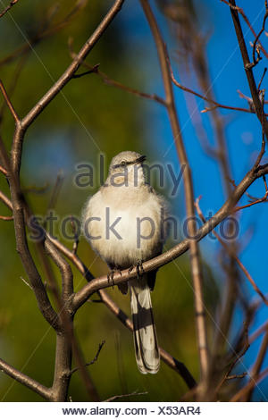 Portrait of a northern mockingbird, Mimus polyglottos, perched in a tree top. - Stock Photo