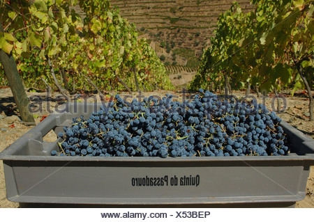 Winegrowing in the Vale Mendiz, box with grapes, Pinhao, Douro Region, North Portugal, Europe - Stock Photo