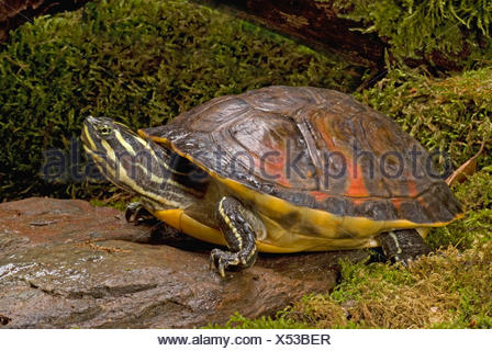 Florida redbelly turtle, Florida red-bellied turtle (Pseudemys rubriventris nelsoni, Chrysemys nelsoni, Pseudemys nelsoni), on a mossy stone - Stock Photo