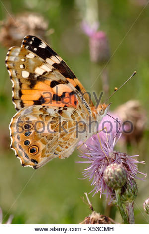 painted lady, thistle (Cynthia cardui, Vanessa cardui), sucking nectar from a thistle, Germany - Stock Photo