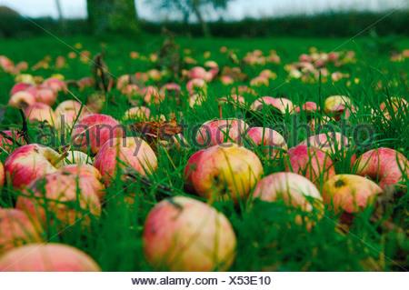 UK, Fallen apples on ground - Stock Photo