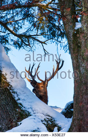 red deer (Cervus elaphus), stag looks throught snow covered trees, Switzerland, Sankt Gallen - Stock Photo