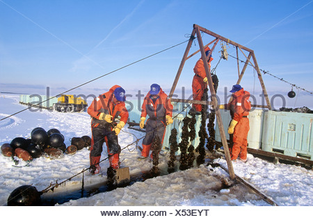Harvesting, blue mussels in winter, New London Bay, Prince Edward Island, Canada. - Stock Photo