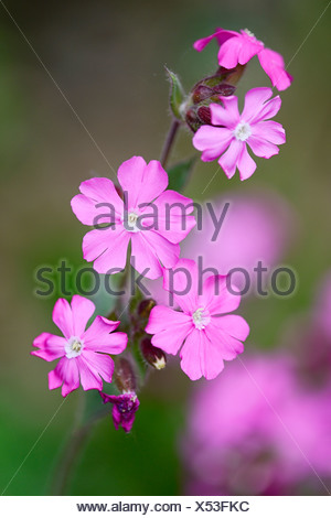 Red campion (Silene dioica), Seleger Moor marshland, Rifferswil, Switzerland, Europe - Stock Photo