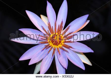 Blue Lotus flower, Blue Water Lily (Nymphaea caerulea) - Stock Photo