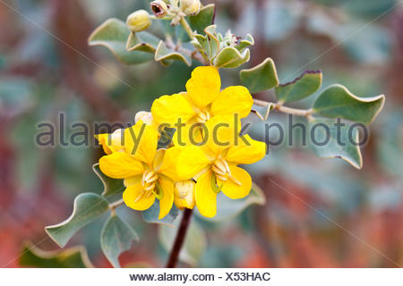 Cassia (Cassia sp.), Kings Canyon, Watarrka National Park, Northern Territory, Australia - Stock Photo