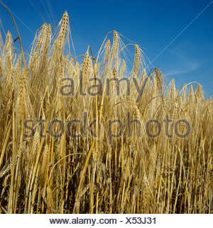 Ripe six row barley against an intense blue summer sky - Stock Photo