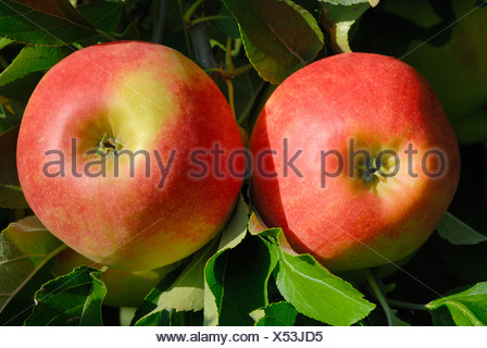 Red apples on a tree (Malus domestica) - Germany, Europe. - Stock Photo