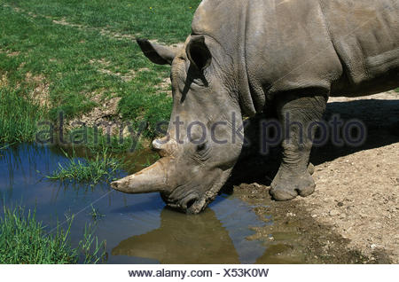 White Rhinoceros, ceratotherium simum, Adult at water hole, South Africa - Stock Photo
