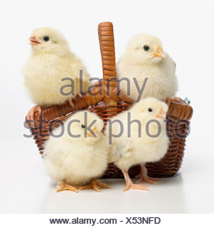 Four yellow chicks in basket, Light Sussex chicks - Stock Photo