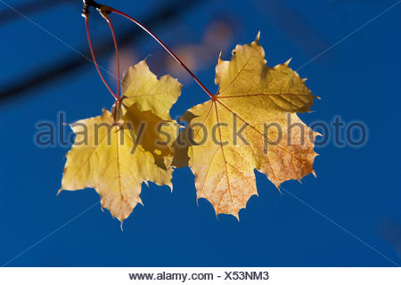 Two maple leaves in autumn - Stock Photo