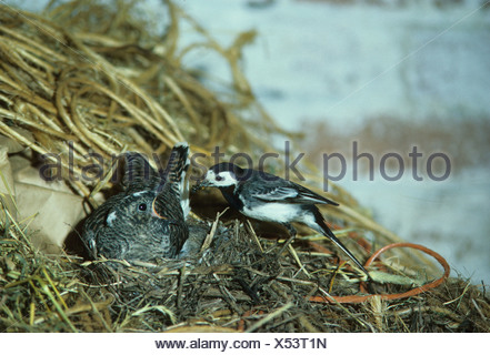 Pied Wagtail Motacilla alba At nest with food young cuckoo demanding
