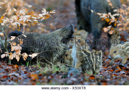 wild boar, pig, wild boar (Sus scrofa), wild sow with shotes, Germany - Stock Photo