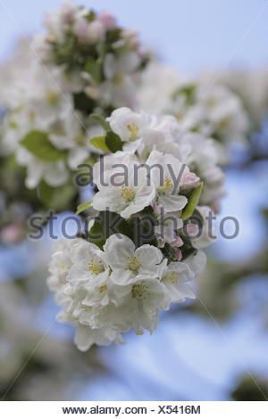 apple tree abloom - Stock Photo