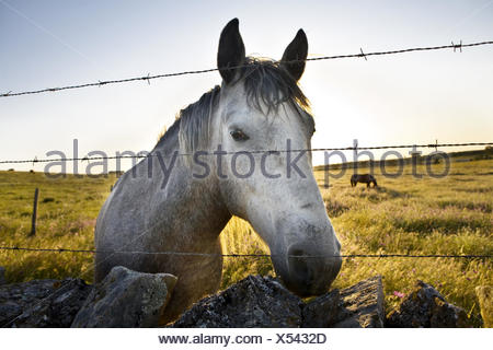 Herd Of Horses grazing in green fields of Olivenza countryside, Badajoz, Extremadura, Spain. - Stock Photo