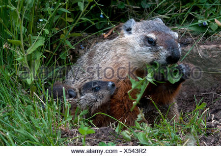 Groundhog parent eating dandelion leaves with two babies nearby; (Marmota monax); Minnesota. - Stock Photo
