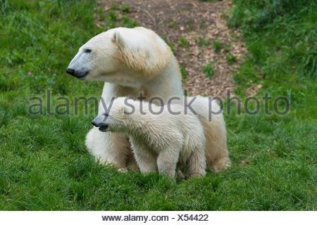 Polar Bears (Ursus maritimus) female Giovanna with her cubs, 6 months, Hellabrunn, Munich, Upper Bavaria, Bavaria, Germany - Stock Photo