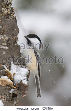 Close up of a Black-capped Chickadee perched on a tree during a snowfall, Chugach Mountains, Southcentral Alaska, Winter - Stock Photo
