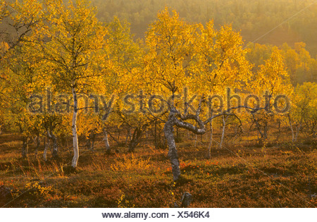 Downy Birch Moor-Birke - Stock Photo