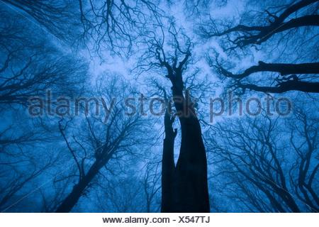 Tree canopy in winter, Felbrigg Woods, Norfolk, UK - Stock Photo